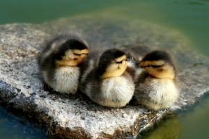 http://en.wikipedia.org/wiki/File:Mallard_ducklings.jpg