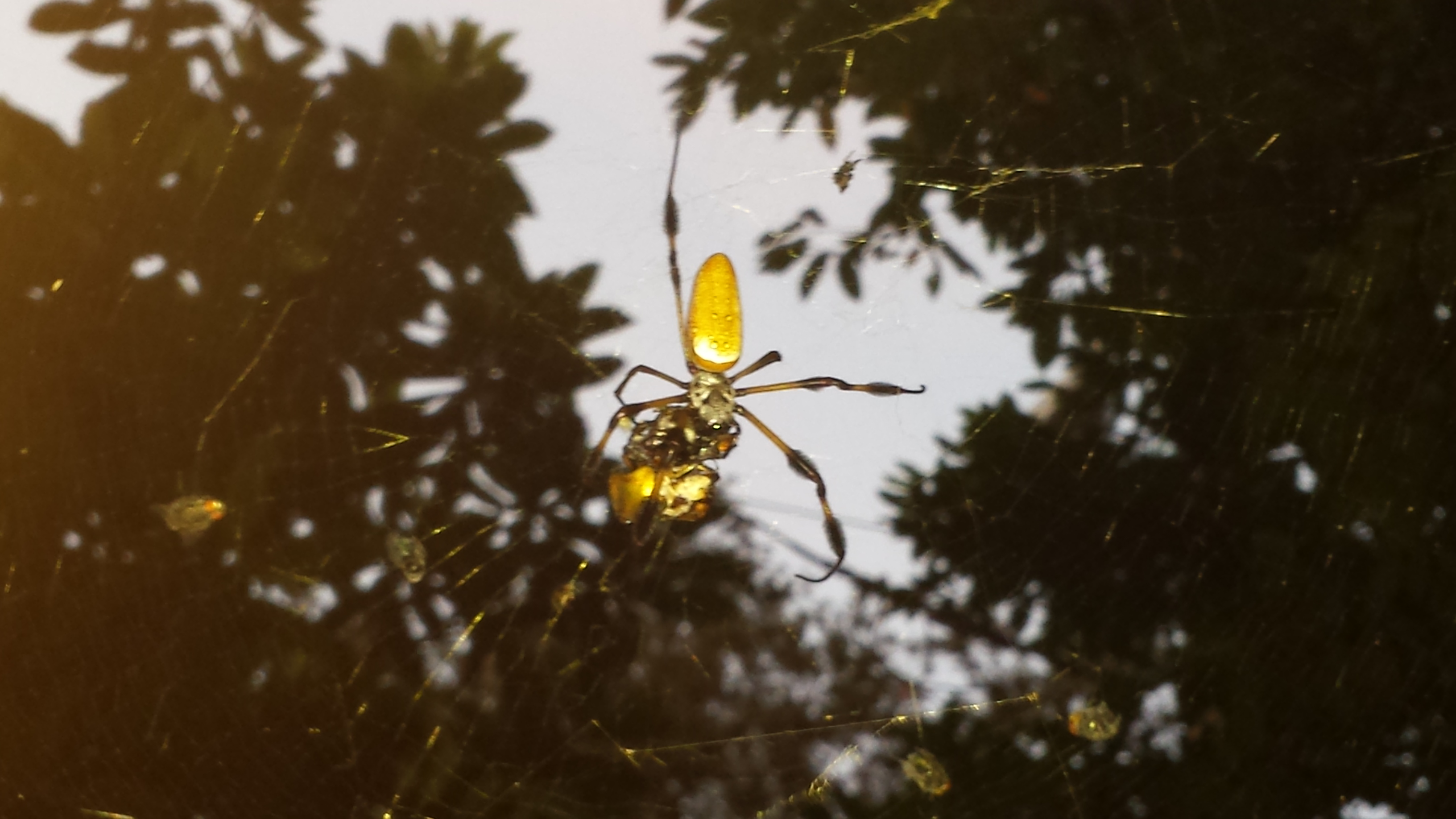 will the real banana spider please stand up vincent cannataro